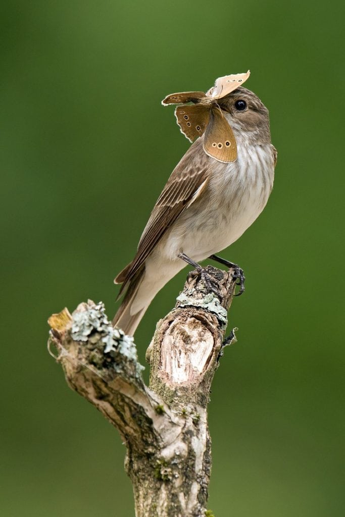 Andy Sands Wildlife photographer Spotted Flycatcher with Ringlet Butterfly