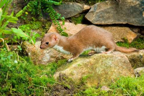 Andy Sands Wildlife photographer Weasel