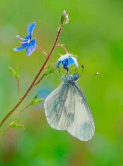 Andy Sands Wildlife photographer Wood White Butterfly