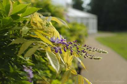 Chiswick Calendar Photographers Jon Perry Wisteria at the Camellia House