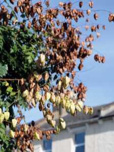 Golden Rain tree - Koelreuteria paniculata, seed pods
