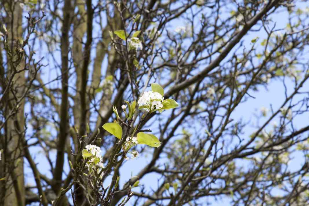 W4 Chanticleer pear - Pyrus calleryana, flowers