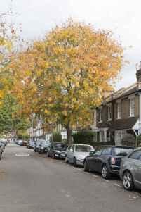 W4 Golden Rain Tree - Koelreuteria paniculata