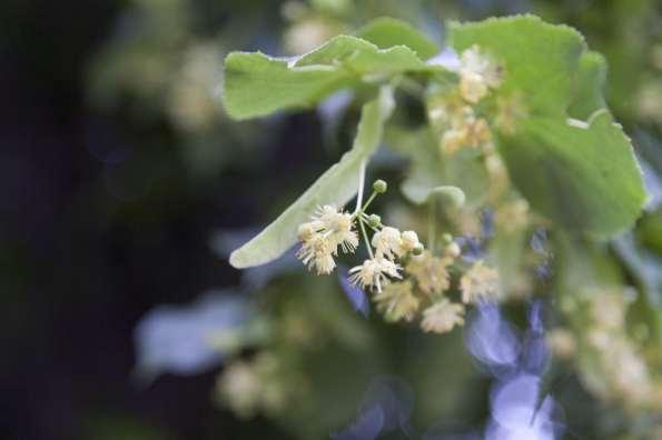 XXX Lime - Tilia europaea, flowers