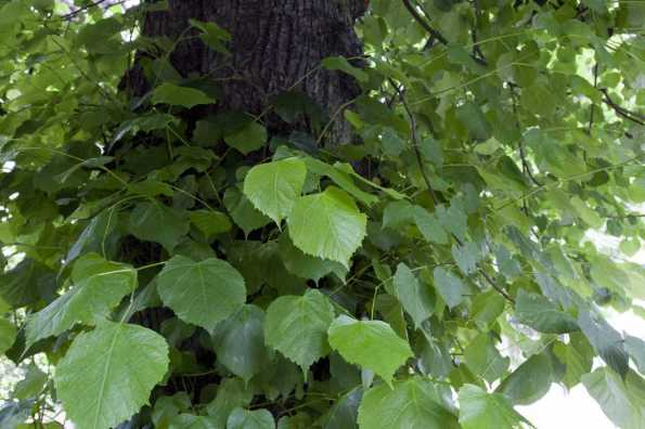 XXX Lime - Tilia x europaea, leaves
