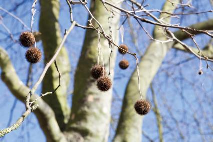 XXX London Plane pom poms