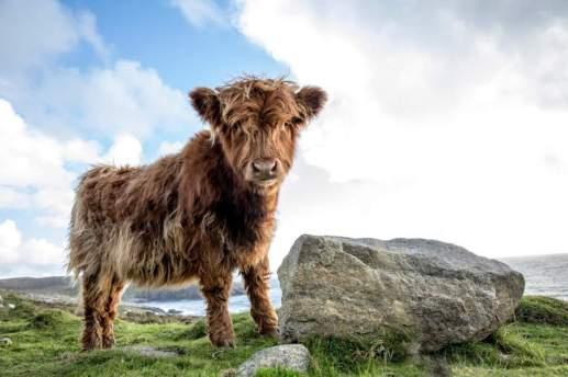 Anna Kunst - Shaggy cow
