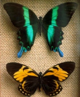 Butterflies mounted in a box frame - Copy