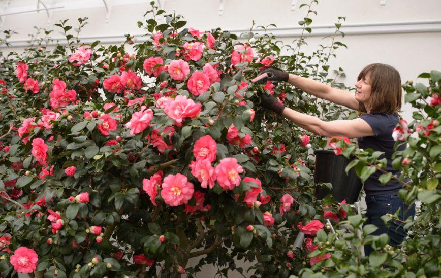Camellias 10 Fiona Hanson
