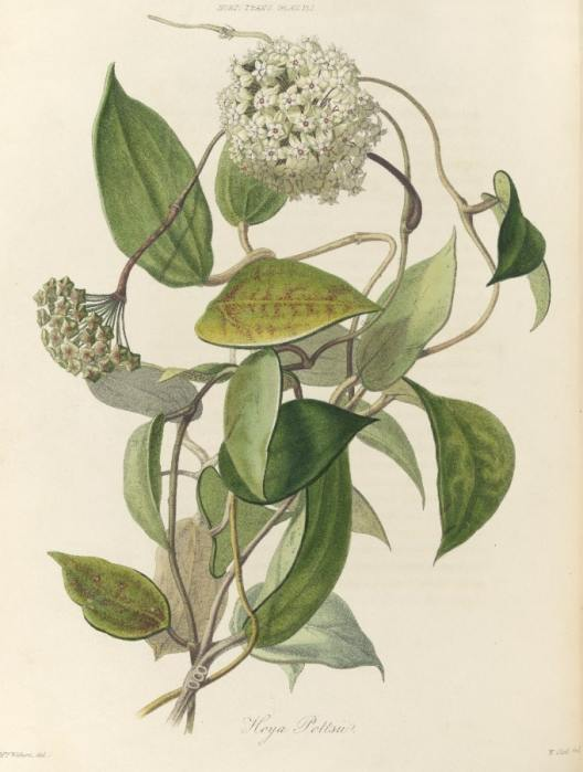 Capture 4 Hoya pottsii brought back from China by the Socety's plant collector John Potts