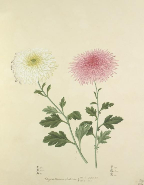 Capture 44 Pink Quilled Chrysanthemum, collected in China by John Reeves