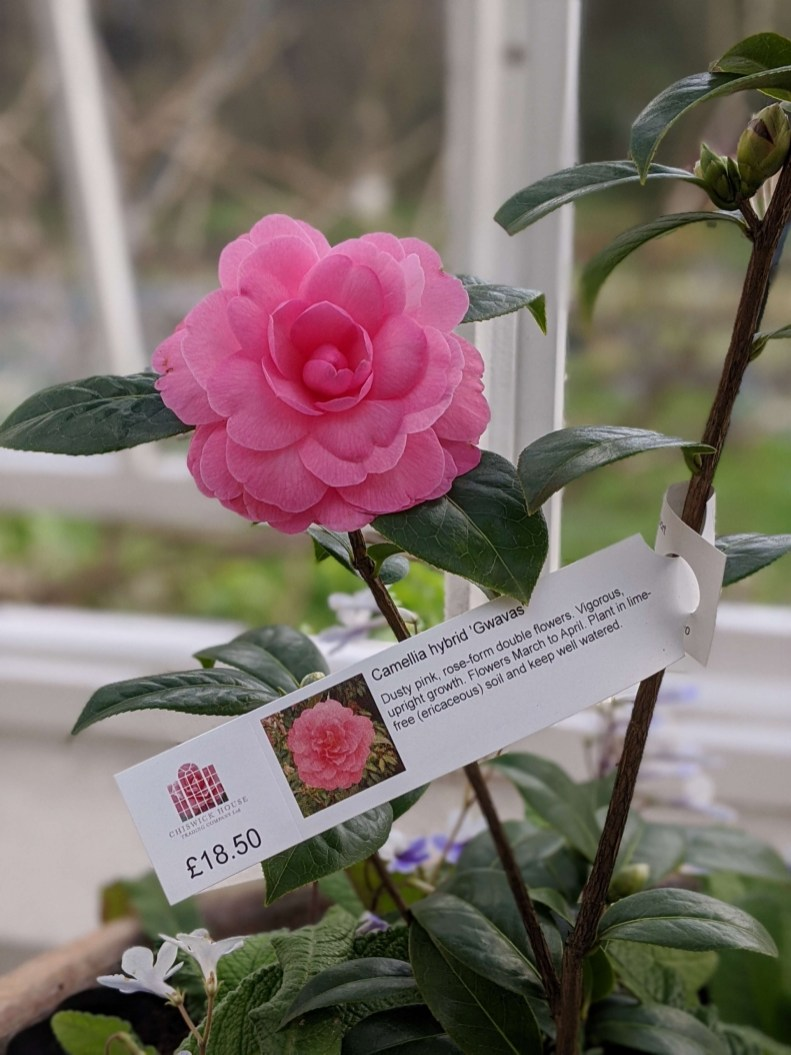 Chiswick House Camellia Show 2