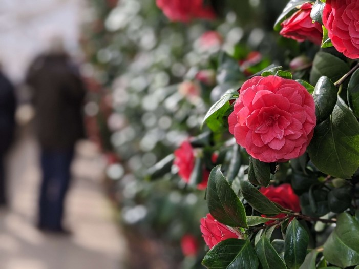 Chiswick House Camellia Show 9