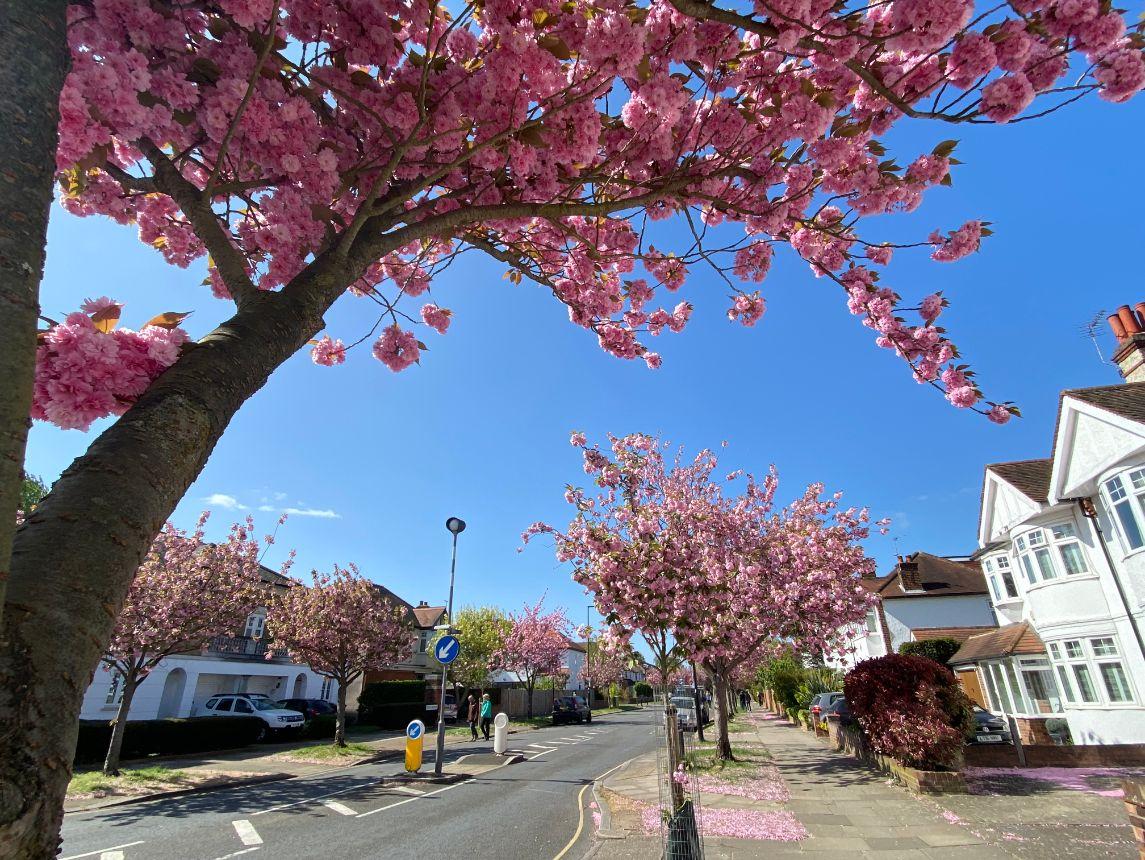 Jennifer Griffiths cherry blossom 1