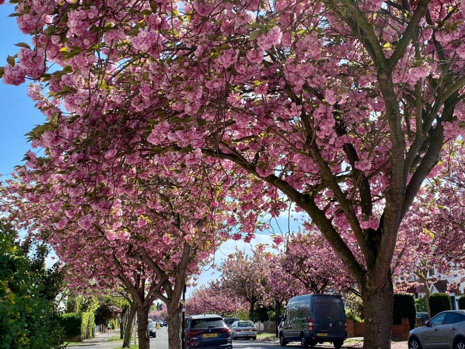 Jennifer Griffiths cherry blossom 6
