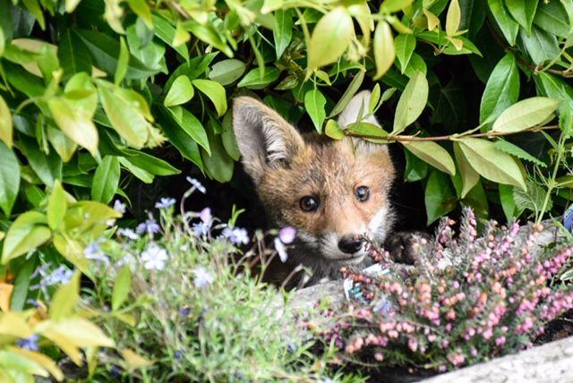 Fox cubs 12 - Mark Lawson