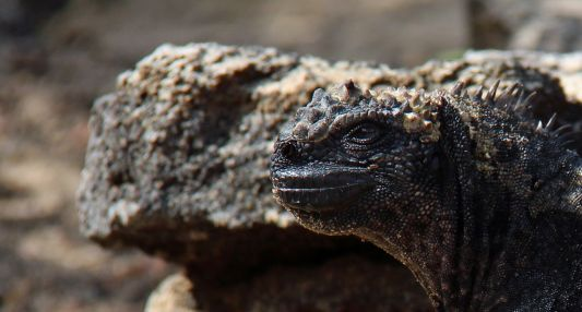 Animals - George Johnston, Marine Iguana