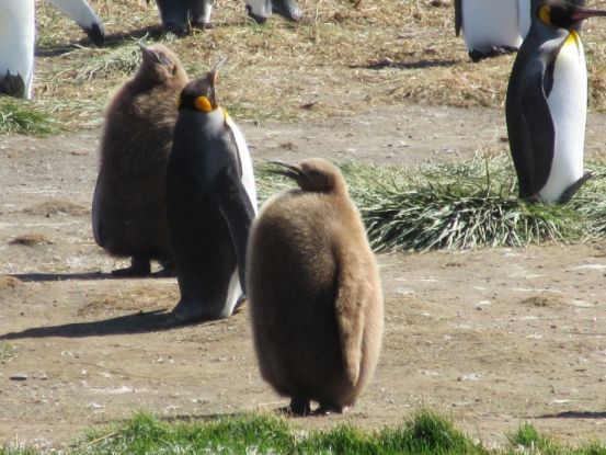 Animals - Louis de Montfort, Baby King Penguin