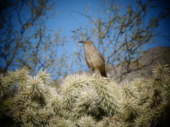 Natural World - Lee Larson, Cactus wren