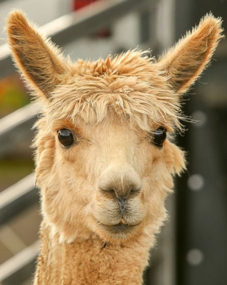 RESIZED cute faced alpaca