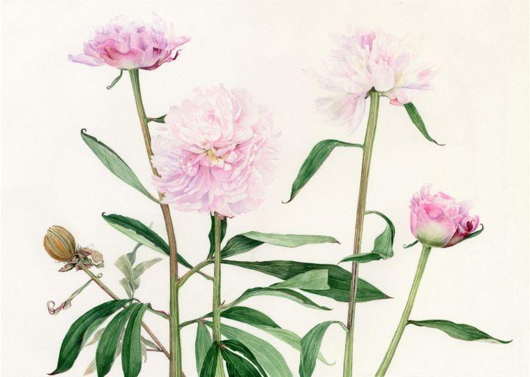 Peonies (Sarah Bernhardt) 470 x 345 mmjpg_web