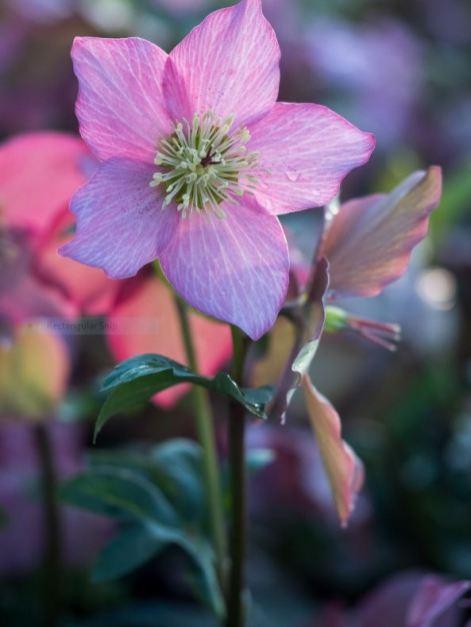 Helleborus Walberton's Rosemary