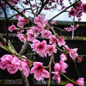 Blossom at Hen Corner