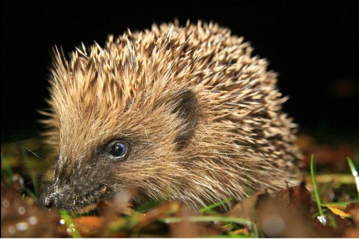 Native hedgehog. Credit Ali Taylor