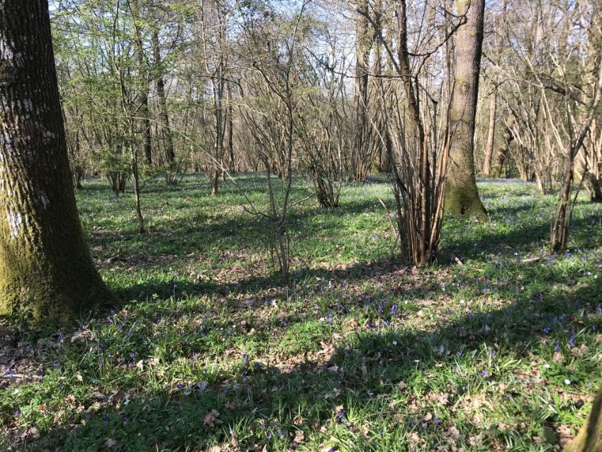 27 April - Bluebell woods_web