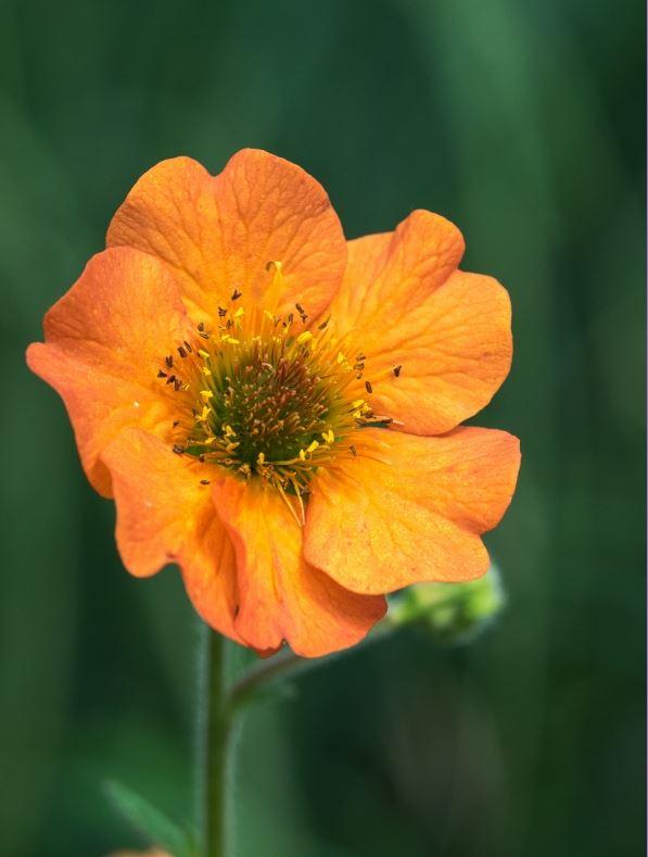 Geum 'Totally Tangerine' 1