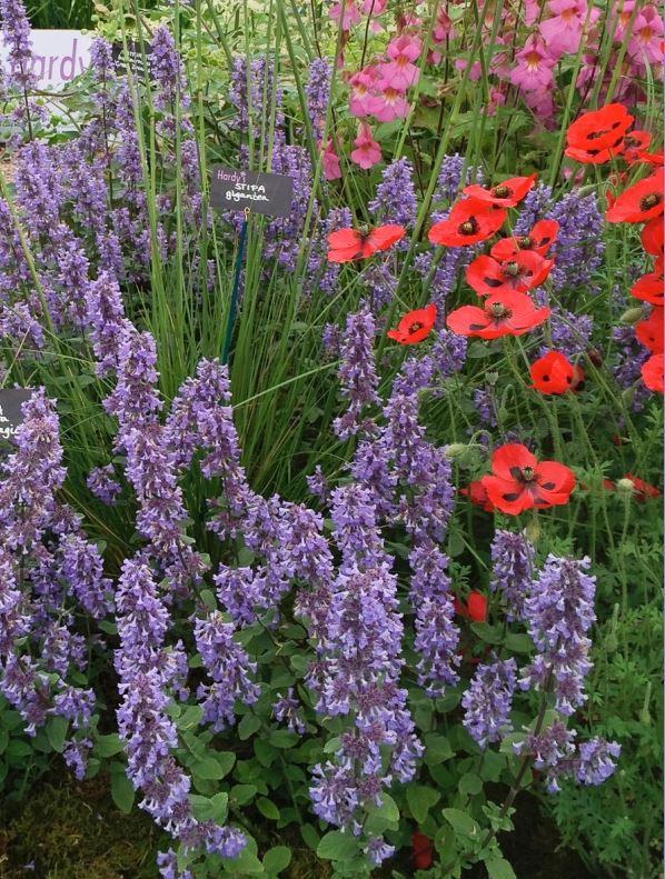 NEPETA grandiflora 'Summer Magic' 1
