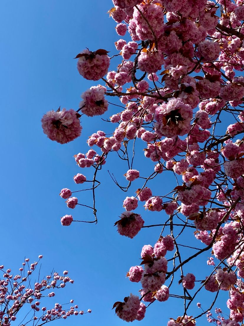 Staveley Rd blossom April 12 - Jennifer Griffiths_web