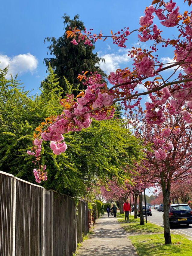 Staveley Rd blossom April 7 - Jennifer Griffiths_web