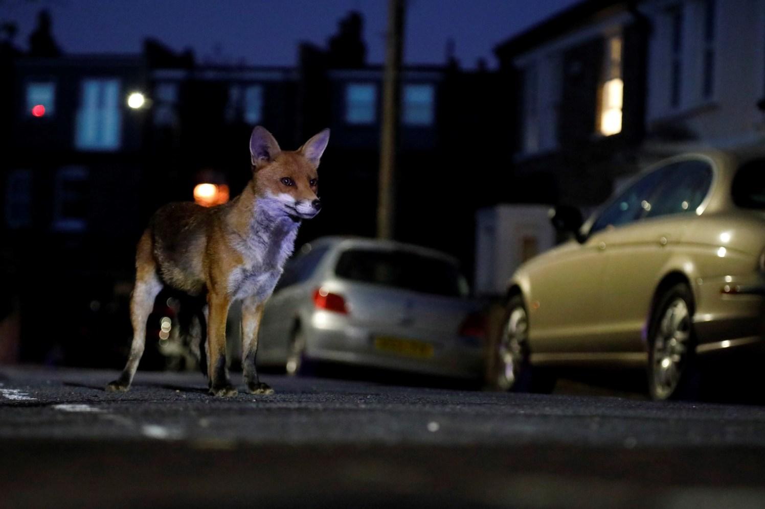 Fox in the street - Jon Perry