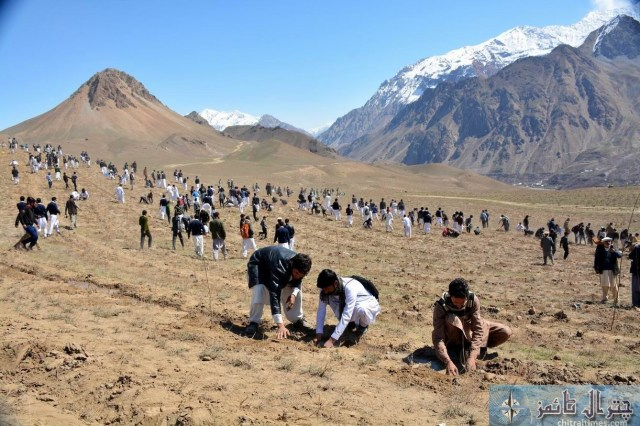 Chitral students and public are participating in a plantation campaign raised by District Administration and Forest department in Qaqlasht Mastuj pic by Saif ur Rehman Aziz2