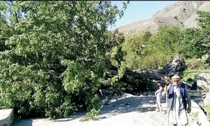 Singoor loses 200-year-old mulberry tree