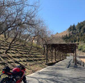 吉田元気村の開花したら絶景になりそうな桜と緑のトンネル