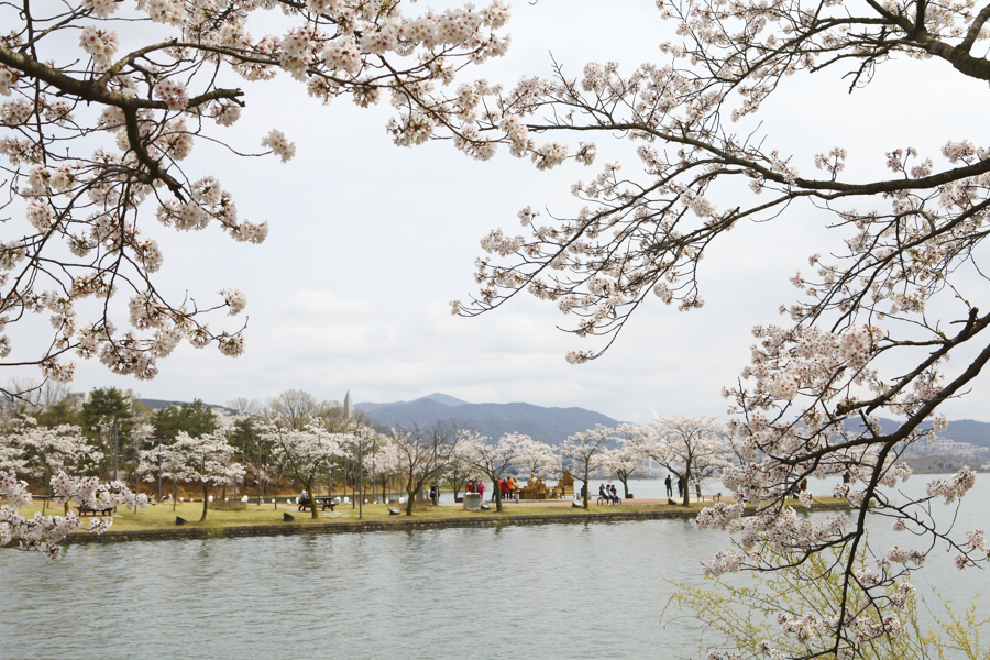 Things to Do in Gyeongju, South Korea - #18. Cherry Blossom at Bomun Lake | #Gyeongju #SouthKorea #Korea #KoreaTravel #AsiaTravel #ThingstodoinKorea #UNESCOWorldHeritageSites #cherryblossom #BomunhoLake