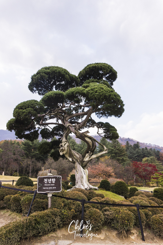 Garden of Morning Calm: Signature Gardens - Millennium Juniper| #GardenofMorningCalm #AutumninKorea #Korea #Gapyeong
