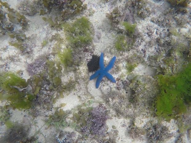 Seestern blau Philippinen