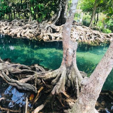 Mangroven in Krabi
