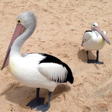 Australien Pelikane