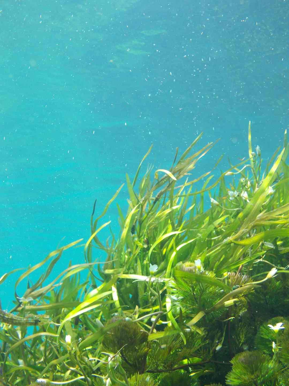 Des algues sous une eau turquoise.