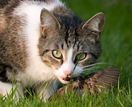 Outdoor cat with bird in mouth. Gaetan Priour photo.