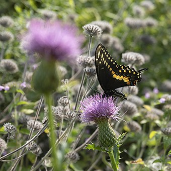 A black swallowtail butterfly nectars on native pasture thistle (Cirsium pumilum), a plant that supports many flower visitors including specialist bees.