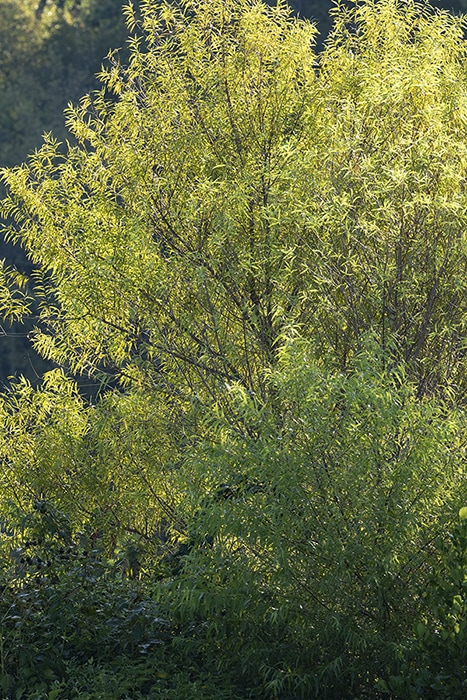 Black willow (Salix nigra) is a wetland species that supports approximately eight specialist native bees.
