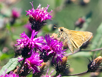 Broadleaf ironweed attracts insects that feed hummingbirds.