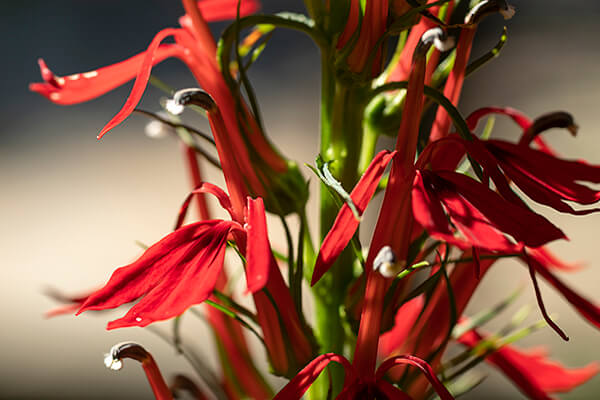 Cardinal flower (Lobelia cardinalis) is one of the best plants for hummingbirds.