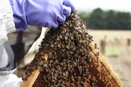 Honey bees are in trouble but they will not become extinct like our native bees could.