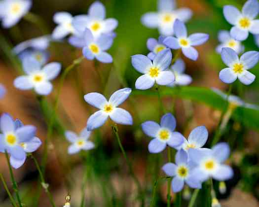 The pollen of common bluets (Houstonia caerulea) supports specialist bees.